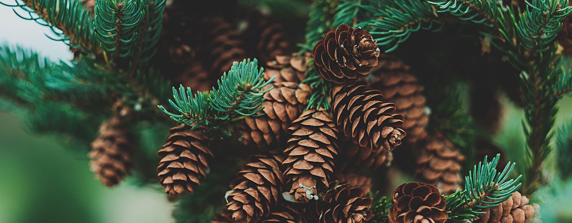 Le pin : Une exploitation raisonnée